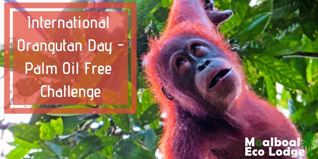 International Orangutan Day 19 August, World Orangutan Day, Palm Oil Industry and climate change, deforestation of Borneo rainforest in Indonesia and Malaysia, palm oil in biodiesel, save the orang-utans, palm oil free challenge, sustainable palm oil, Moalboal Eco Lodge